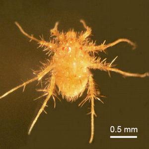 Paratarsotomus macropalpis